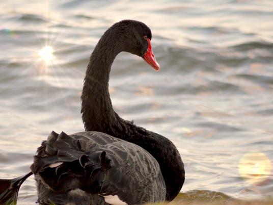 Emblem of Western Australia - the black swan