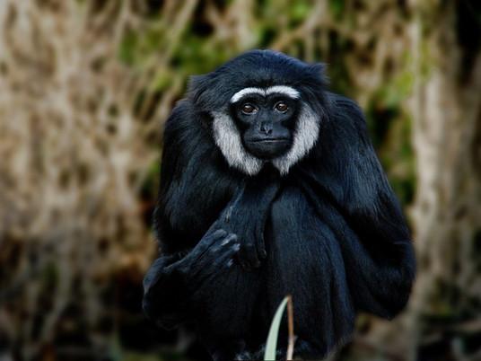 Gibbon take