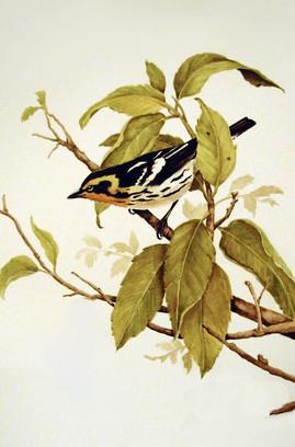 Warbler - Watercolor
