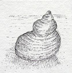 Seemuschel 2