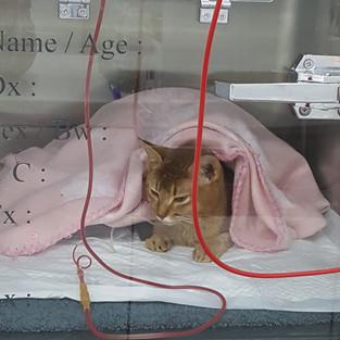 Feline Lukemia Patient