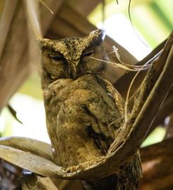 Sunda Scops Owl Singapore.jpg