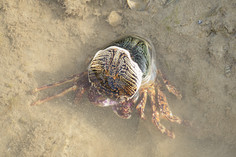 Sally Lightfoot Crab (Grapsus albolineatus)