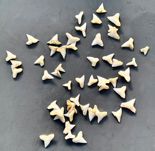One of the treasures that we find while cleaning some of the exhibits – shark teeth buried in the substrate!
