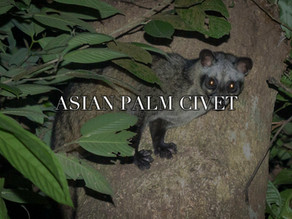 Civets in Singapore?