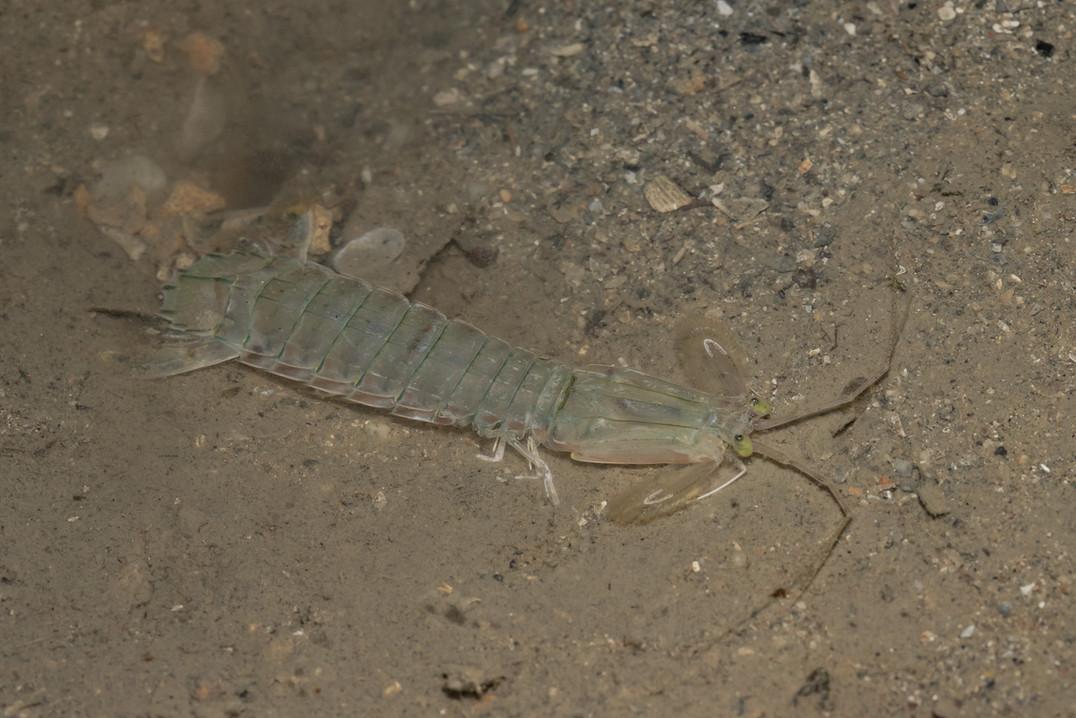 Spearer Mantis Shrimp
