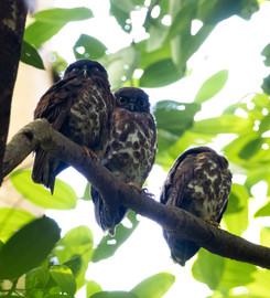Brown Hawk-owl Singapore.jpg