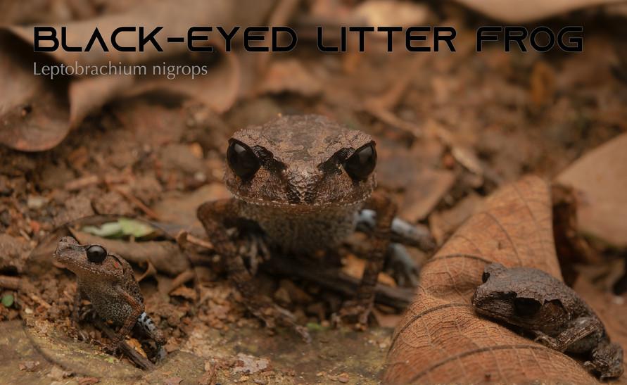 Black-eyed Litter Frog.jpg