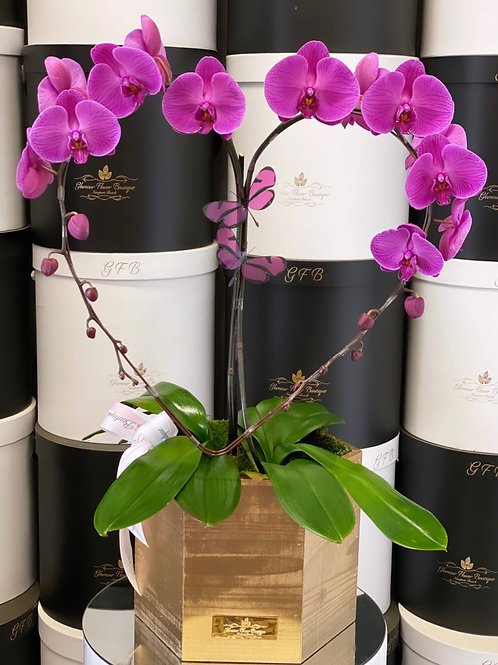 Heart Shape Plant Orchids in Gold box or Black Box