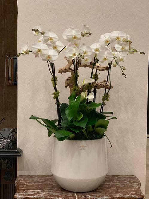 Large Orchild plant with Ceramic Vase
