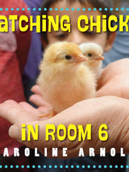 HATCHING CHICKS IN ROOM 6 written by Caroline Arnold