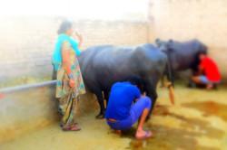 Buffalo Milking
