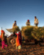 Family harvesting crops, near Jaipur, In