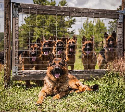 german shepherds at gate