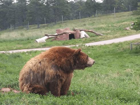 bear in outdoor enclosure