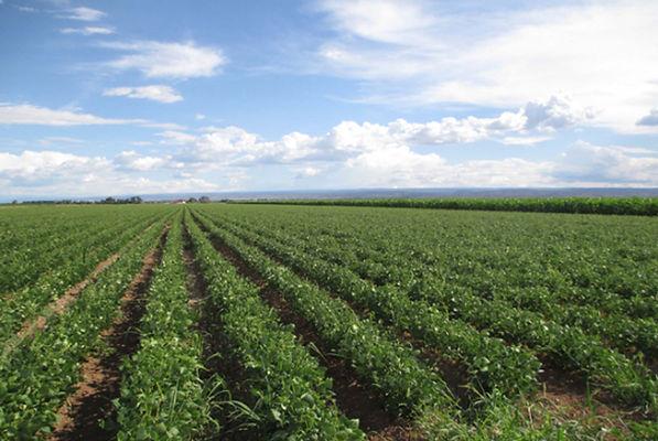 colorado dry bean field