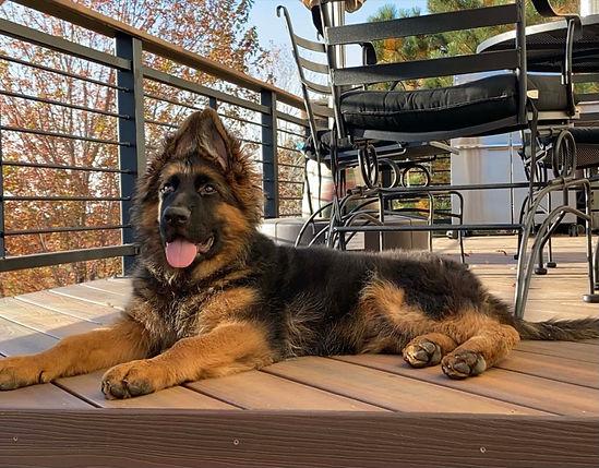 german shepherd puppy outside