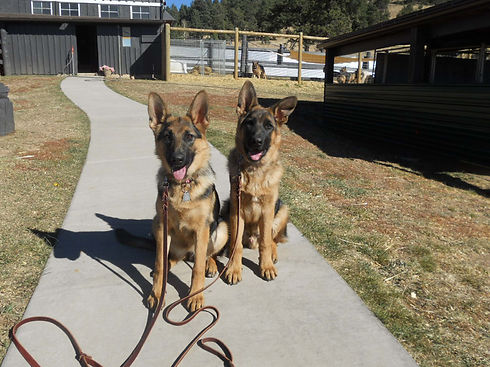 two german shepherds on leashes