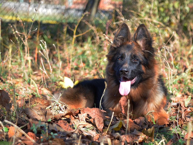 german shepherd puppy laying down