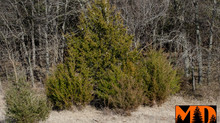 Cedars a Thirsty Fire Hazard!