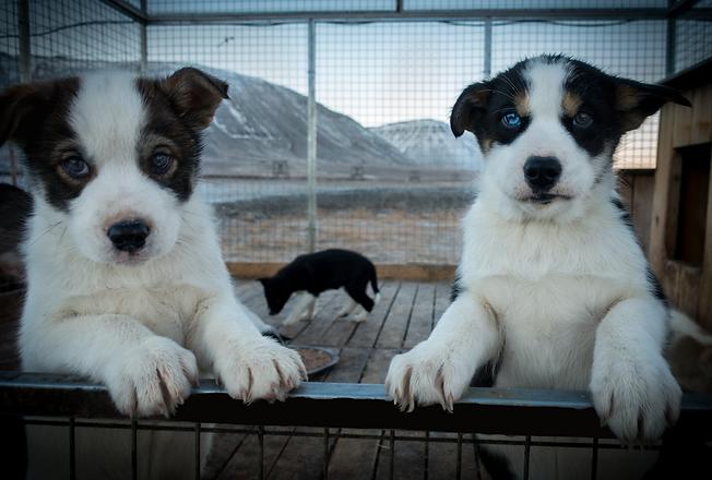 cute puppies svalbard husky