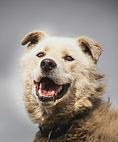 svalbad husky alaskan husky dog
