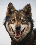 visit, svalbad, alaskan, husky, dog