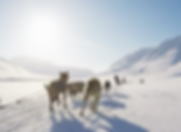 sledding, norway, visit, dog, svalbard, husky