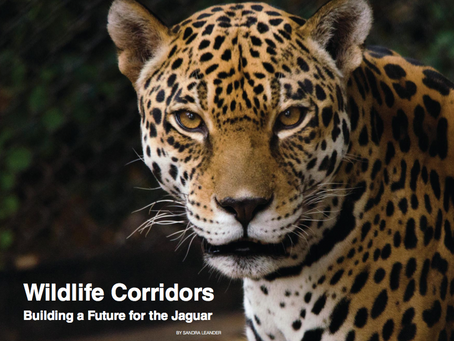 Wildlife Corridors Building a Future for the Jaguar