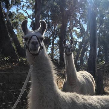 Hanging Rock Llama Treks