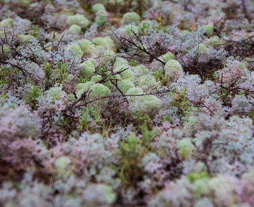 Goblin Forest Walk Sub Alpine Moss