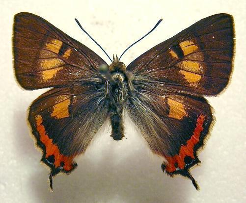 Tasmanian Hairstreak Butterfly.jpg