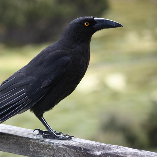 Black Carrawong