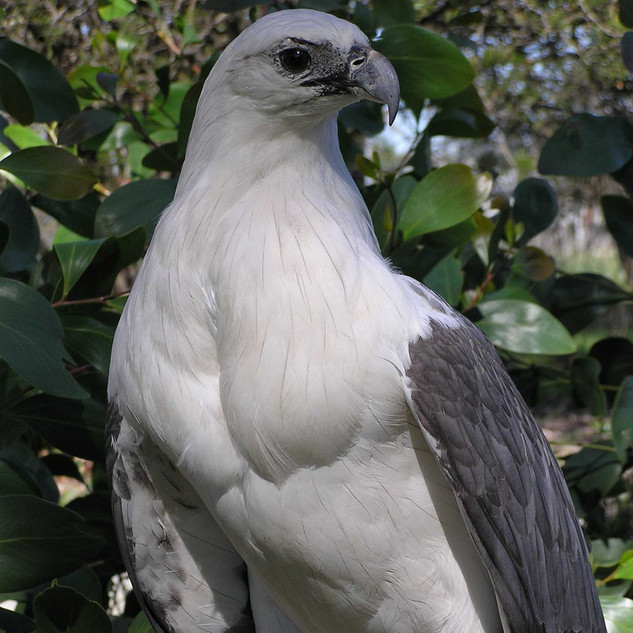 This is a featured article. Click here for more information. Page semi-protected White-bellied sea eagle