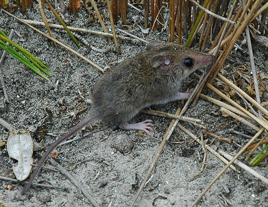 White-footed Dunnart