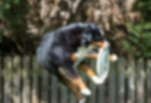 Photo of dog catching frizbee