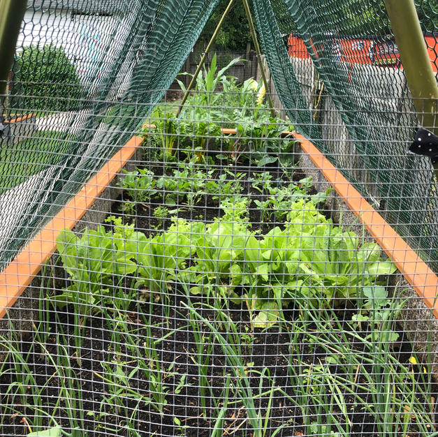 Herbs and Lettuce
