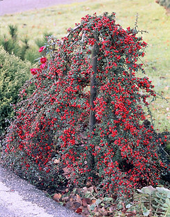 Cotoneaster-dammeri-Coral-Beauty_2157_12