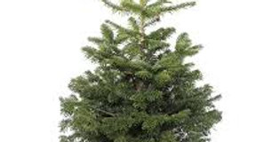 PREMIUM non-drop Nordman Fir potted Christmas Tree *Pre Order