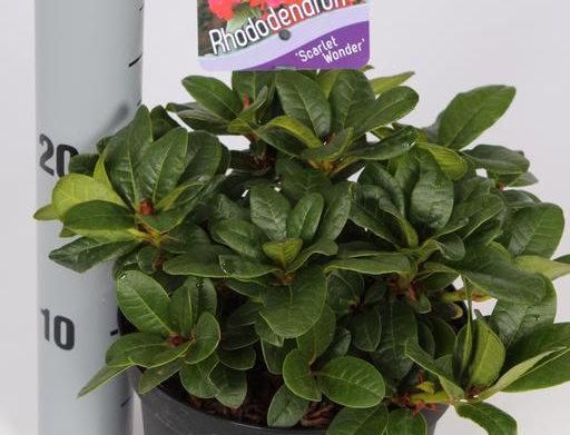 Rhododendron 'Scarlett Wonder'