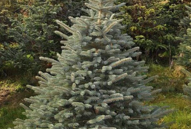 Blue Spruce cut Christmas Tree *Pre Order - available 01/12