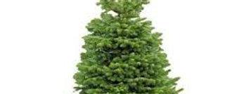 PREMIUM non-drop Nordmann Fir cut Christmas Tree *Pre Order - available 01/12.