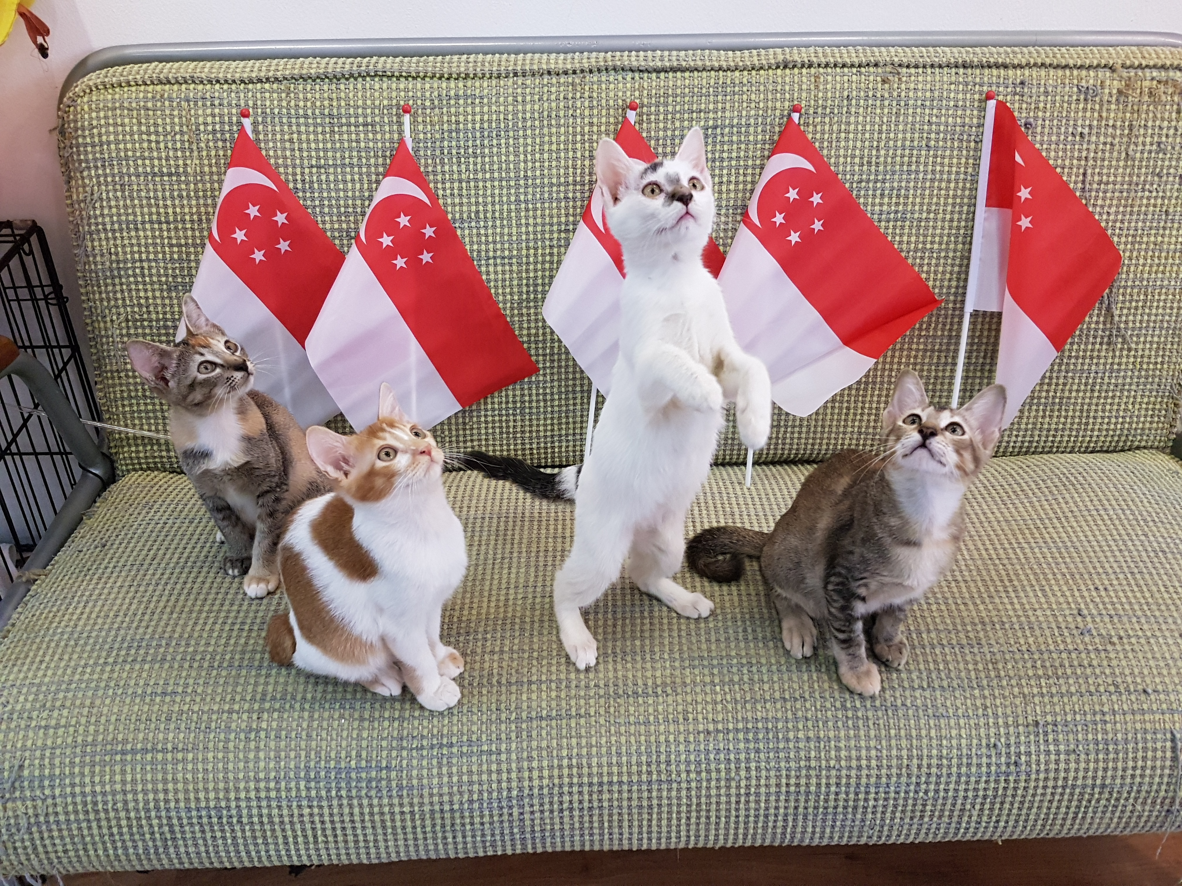 Kitten Priscilla Standing Up for Singapore on National Day.jpg