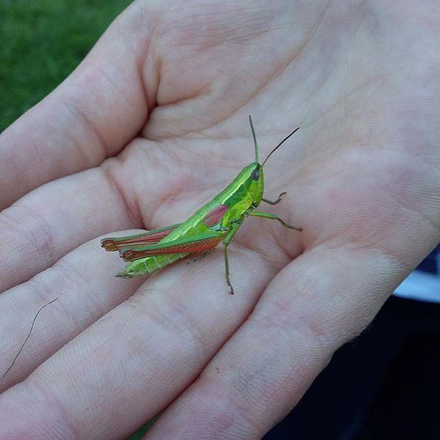 Que bella!!!! #kobilica #grasshopper