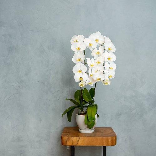 Plants - Phalaenopsis Orchid