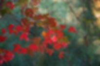 maple-leaves-62759_1920.jpg