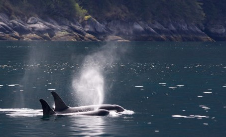 Three Southern Resident Orcas Missing