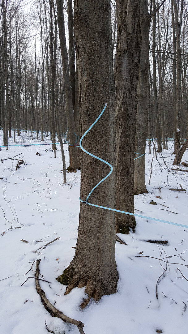 tapped tree