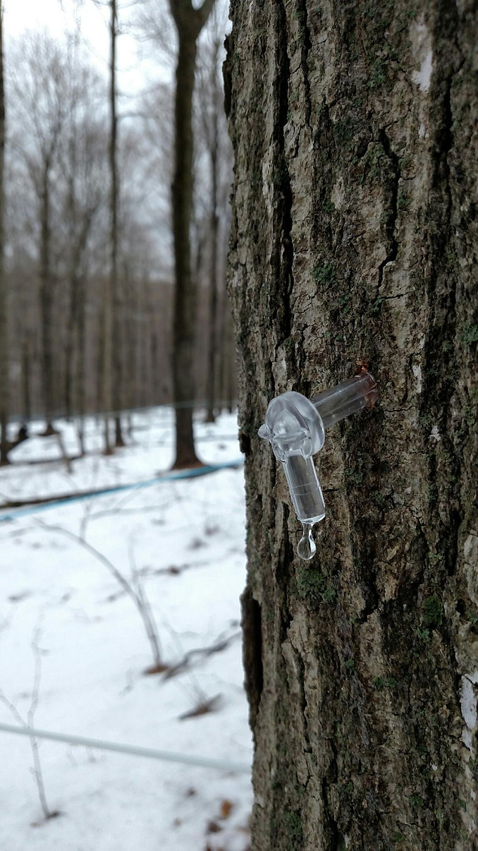 Dripping sap