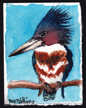 A Lil Belted Kingfisher